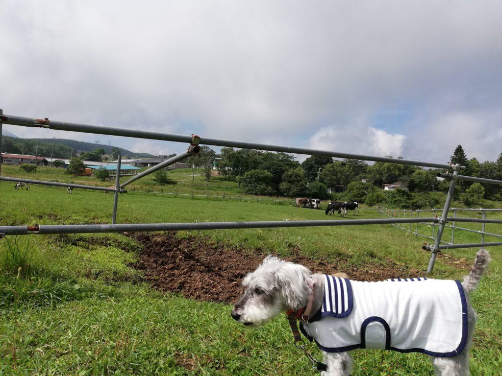ペットと遊ぶ 長野県長和町 長門牧場 ワンコと牛