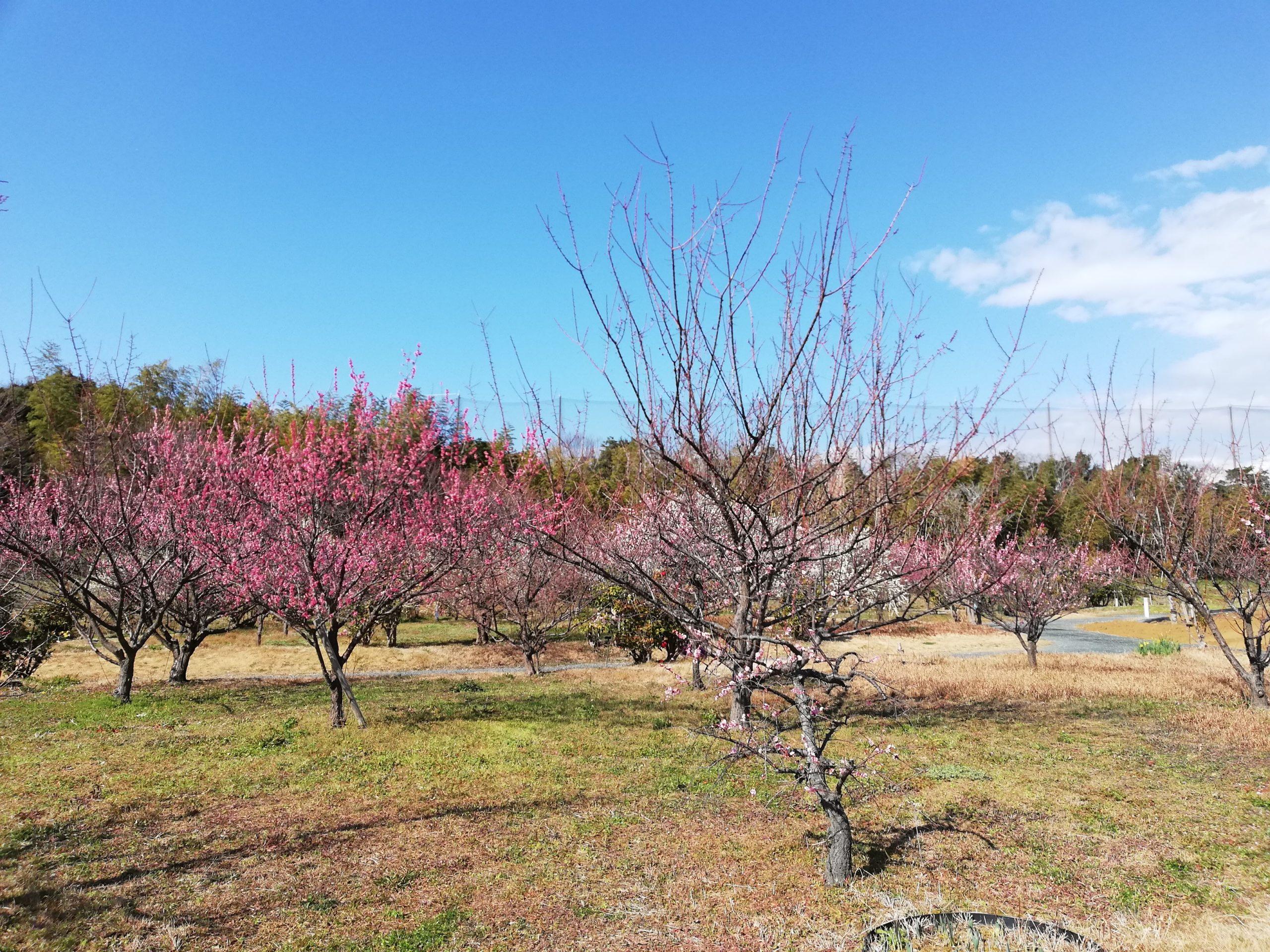 静岡県内でペットと遊ぶ 静岡県浜松市 浜名湖ガーデンパーク 梅園